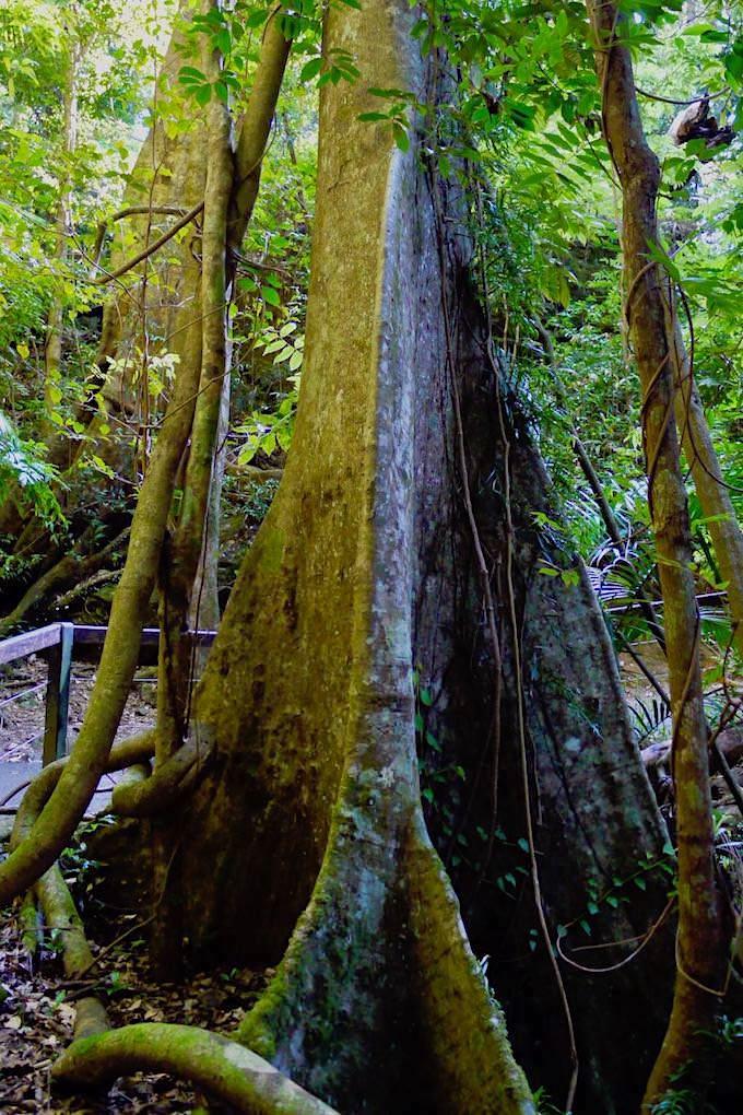Strangler Fig oder Würgefeigenbaum - Natural Bridge - Springbrook National Park - Queensland