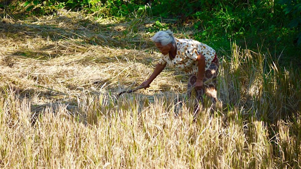 Umland bei Lovina - Reisfelder & Strohernte - Bali