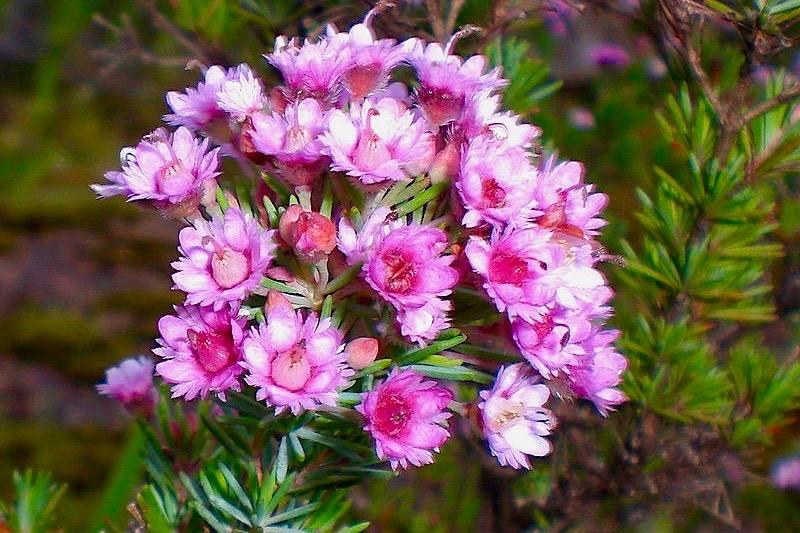 Wildblumen: Verticordia plumosa oder Federblütensträucher - Lesueur NP - Western Australia