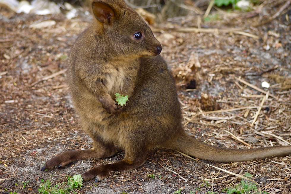Putzig und immer wieder so süß: Wallabies - Cockle Creek - Tasmania