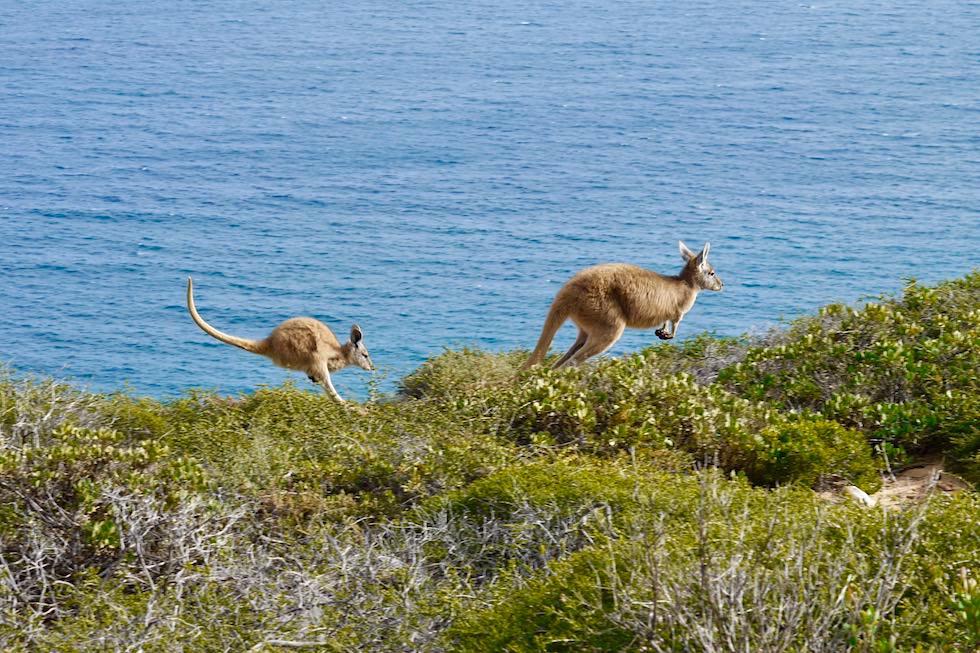 Wallabies auf dem Sprung - Kalbarri Coast & Kalbarri National Park - Western Australia