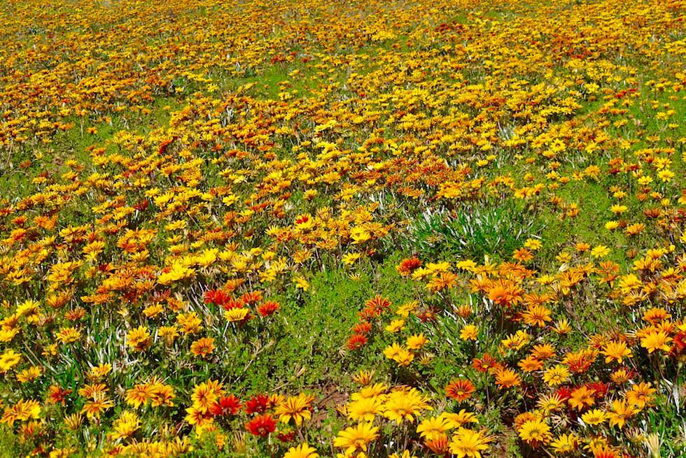 Wildblumen Felder - Western Australia