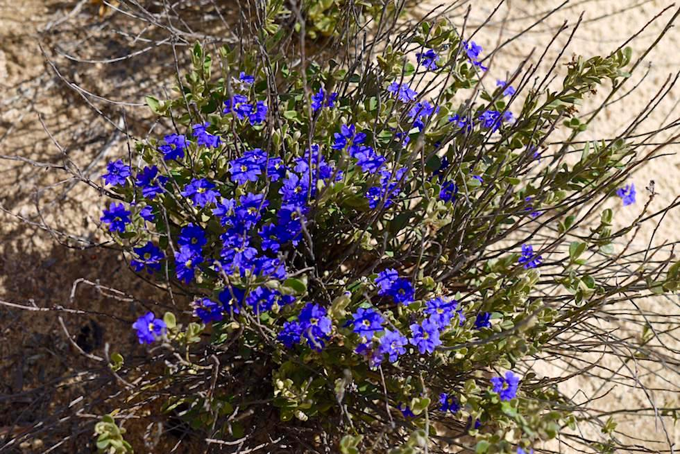 Wildblumen im Lesueur National Park -Western Australia