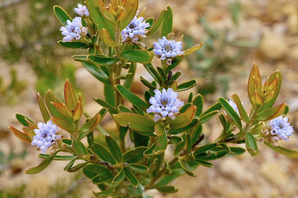 Wildblumen hellblau - Mt Lesueur National Park - Western Australia