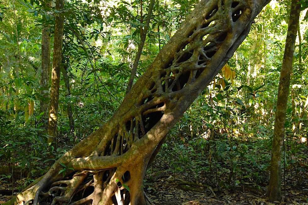 Würgefeigenbaum hat seinen Wirt getötet und lebt innen hohl weiter - Strangler Fig Tree - Queensland