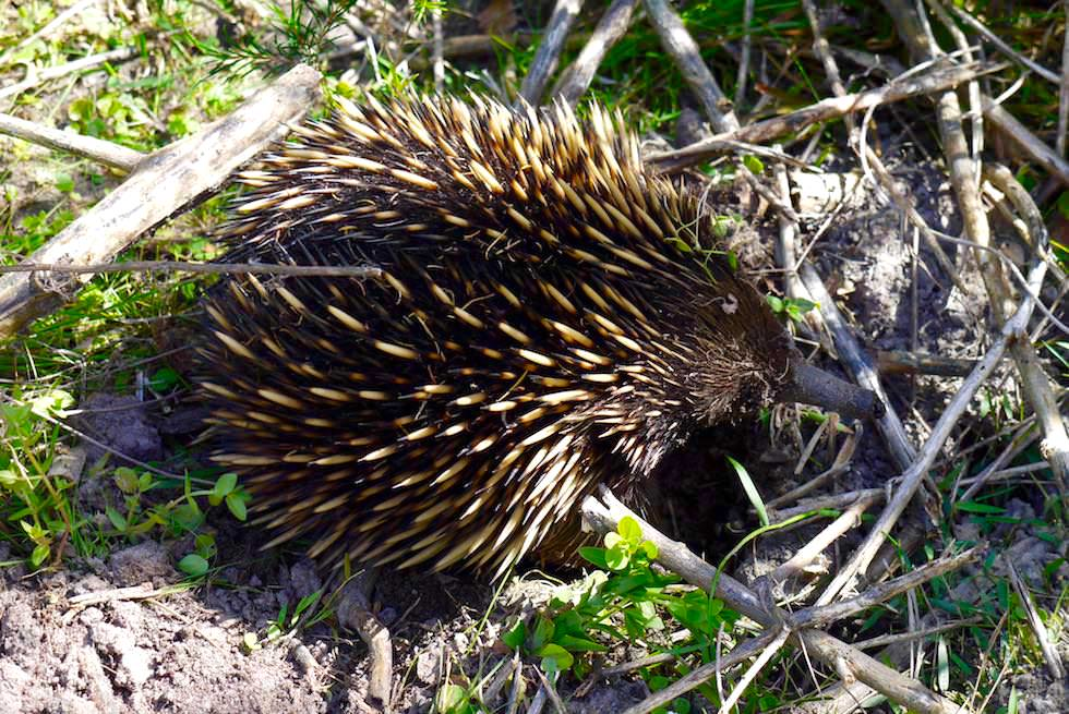 Ben Boyd National Park - City Rock Walk - Echidna Paradies - New South Wales
