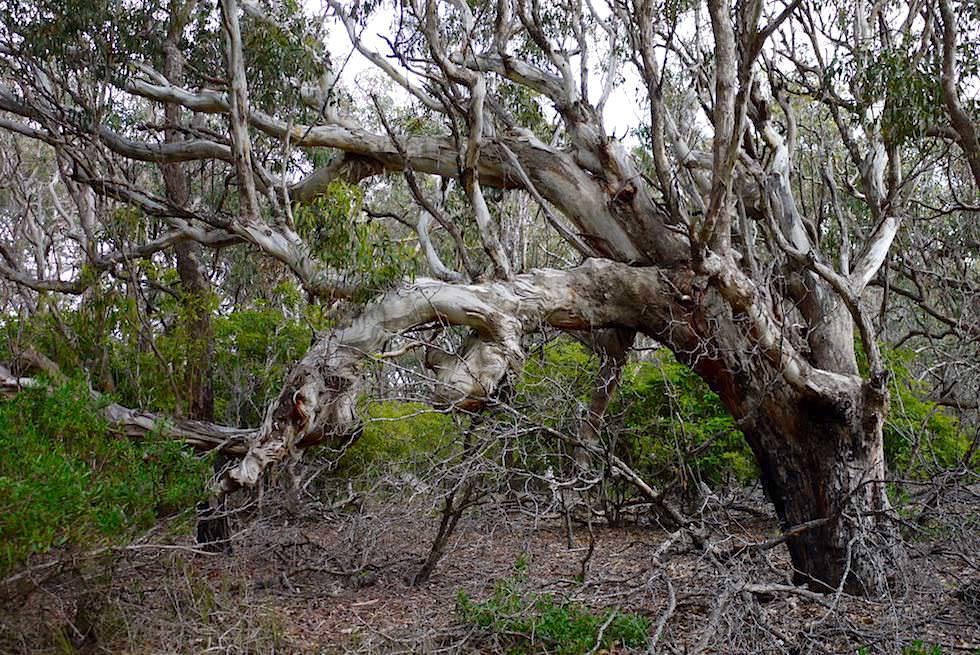 Ben Boyd National Park - bizarrer Baum Wanderung Haycock Point - New South Wales