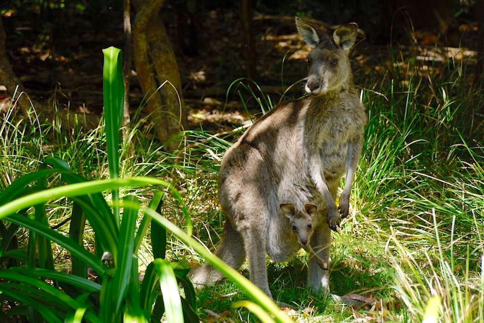 Davidson Whaling Station beim Ben Boyd National Park - Känguru mit Baby - New South Wales