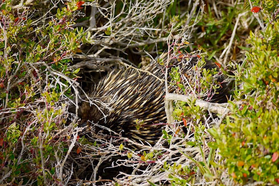 Ben Boyd National Park - Echidna tarnt sich - Wanderung Haycock Point zum Barmouth Beach - New South Wales