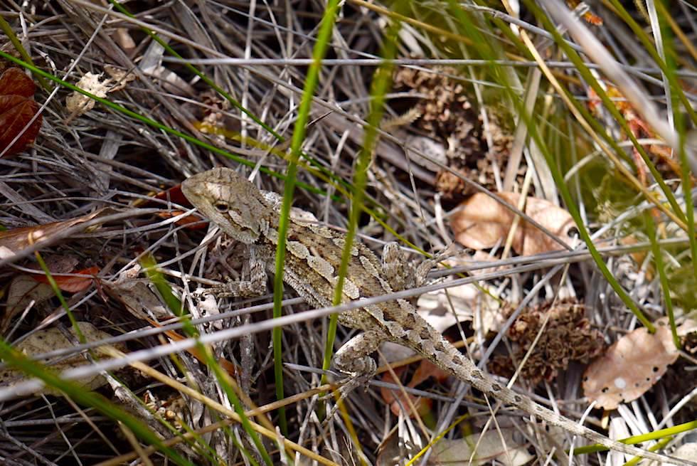 Lustige kleine Echse - Haycock Point - Ben Boyd National Park - New South Wales