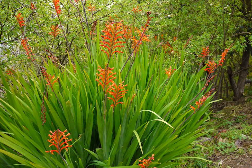 El Rincon: Wunderschöne Rachenlilien - Roque Grande Wanderung - Valsequillo - Gran Canaria