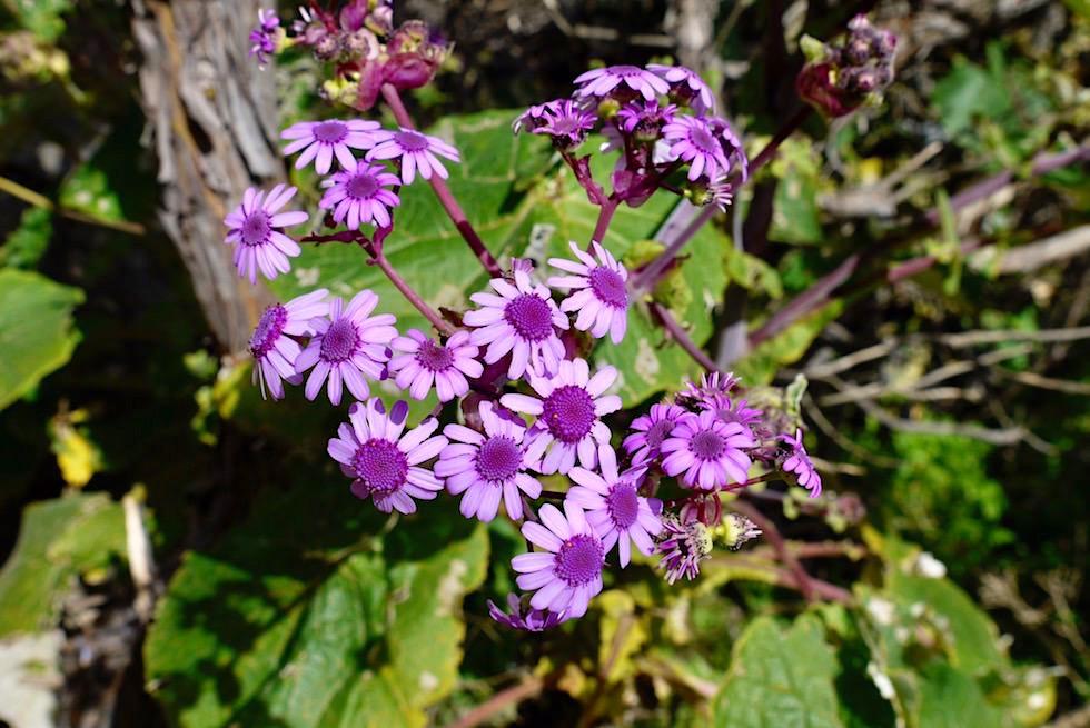 Pericallis webbii - Wildblumen - Roque Grande Wanderung - Valsequillo - Gran Canaria