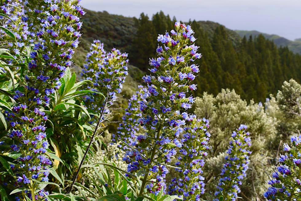 Roque Grande Wanderung (Route 10)- Riesige Blütendolden des Blauen Natternkopfs - Valsequillo - Gran Canaria