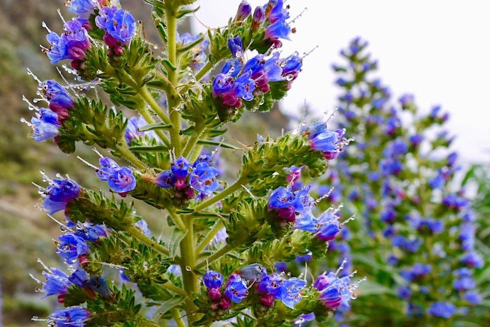 Roque Grande Wanderung - Blüte Blauer Natternkopf - Valsequillo - Gran Canaria
