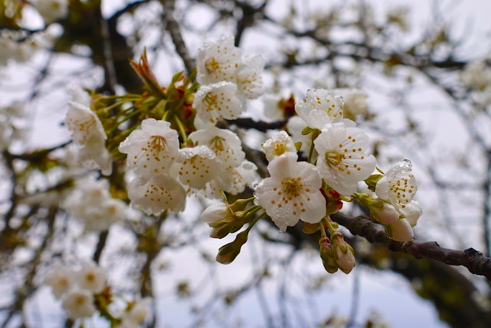 Roque Grande Wanderung - Wunderschöne Pflaumen-Blüten - Valsequillo - Gran Canaria
