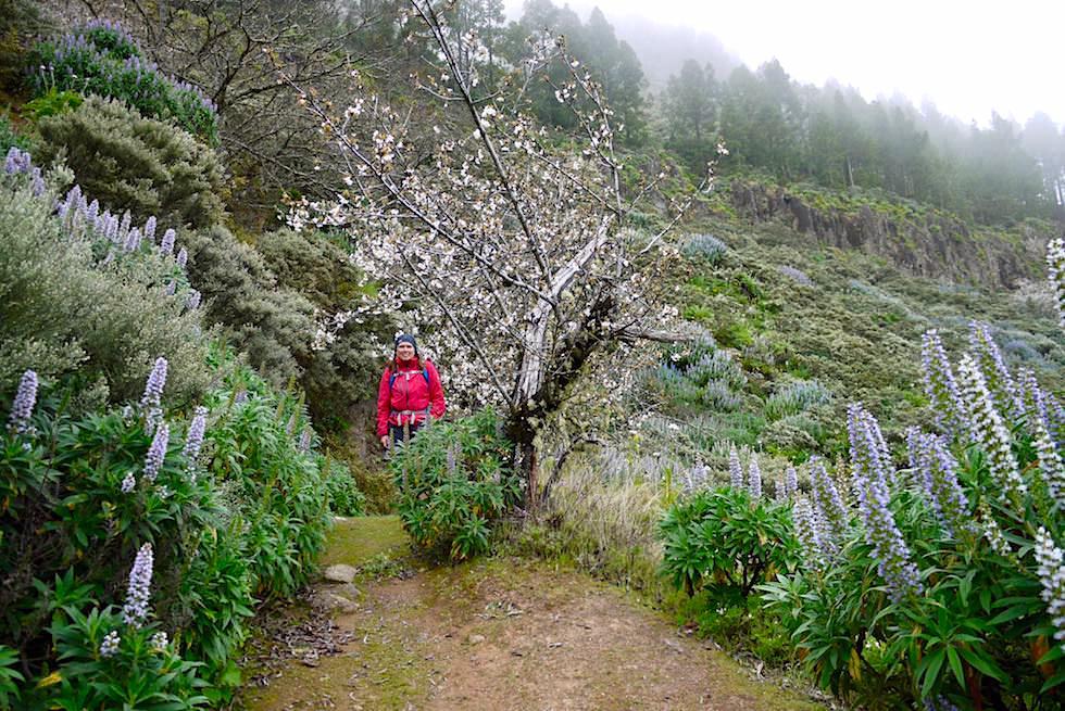 Roque Grande Wanderpfad - Pflaumen Blüten - Valsequillo - Gran Canaria
