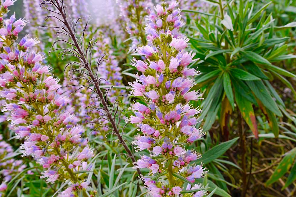Die schönste Wildblumen-Wanderung: Roque Grande (Route 10) - Blüte Pinker Natternkopf - Valsequillo - Gran Canaria