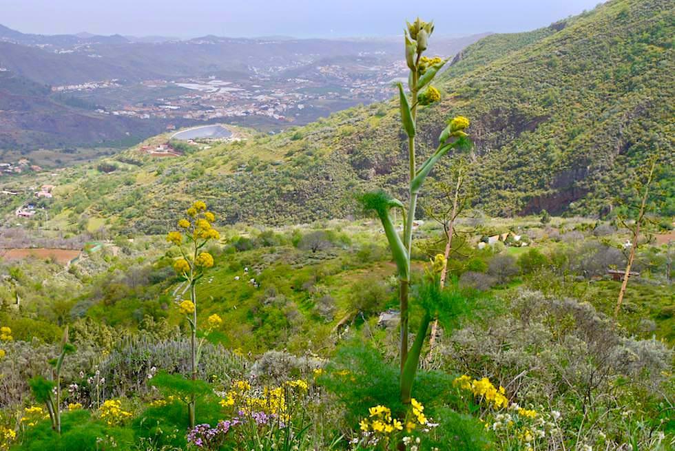 Roque Grande Wanderung: Route 1 - Talblick mit Riesenfenchel - Valsequillo - Gran Canaria