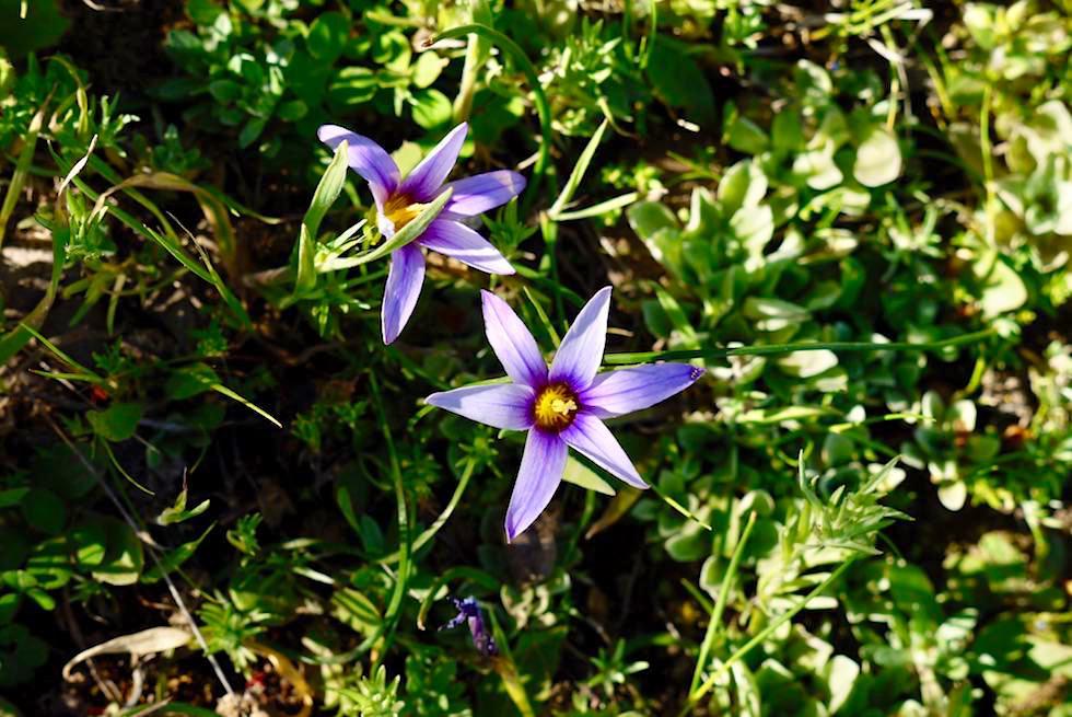 Wildblumenpracht auf der Roque Grande Wanderung - Scheinkrokus - Valsequillo - Gran Canaria