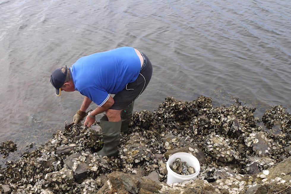 Die berühmten Tathra Oysters - Austern selbst pflücken - Sapphire Coast - New South Wales