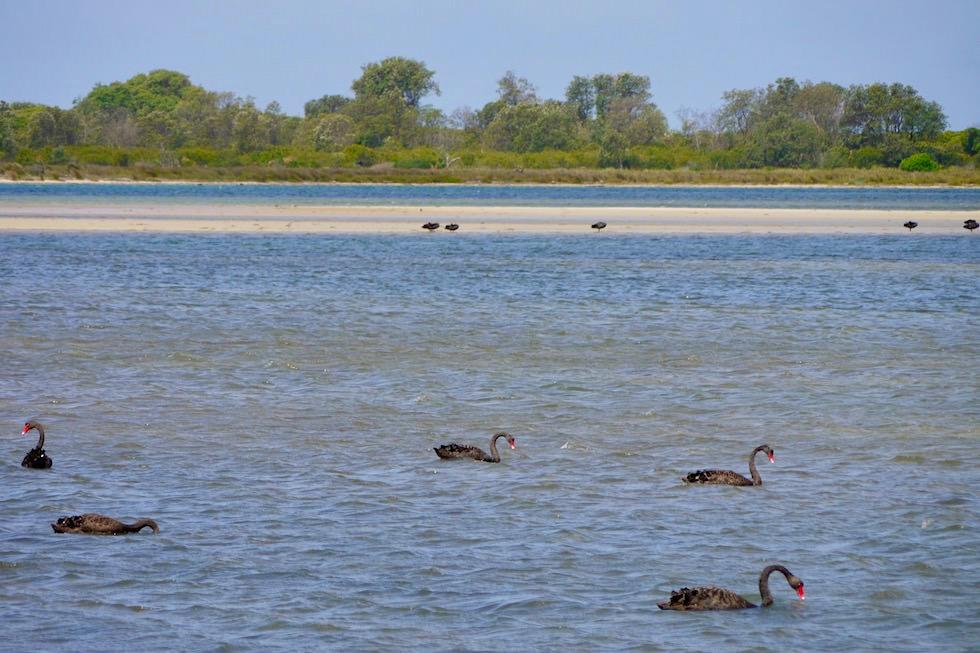Sapphire Coast - Wallaga Lake mit seinen Schwarzen Schwäne -New South Wales