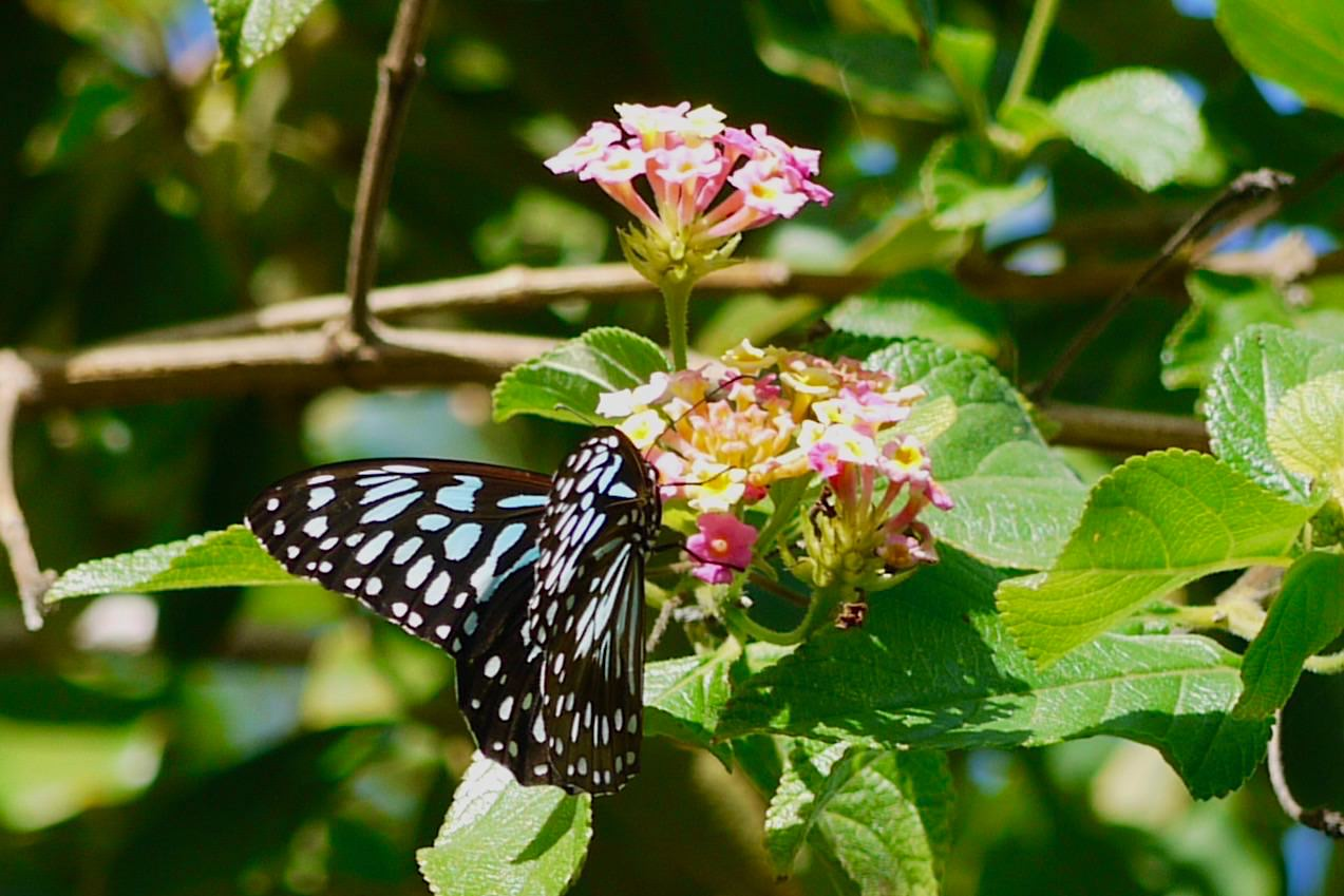 Blue Serendipity Butterfly Queensland