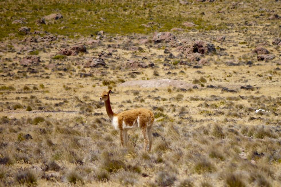 Guanaka auf dem Weg vom Chachani nach Arequipa - Peru
