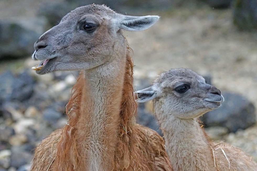 Guanako - Hochland Kamel - Peru