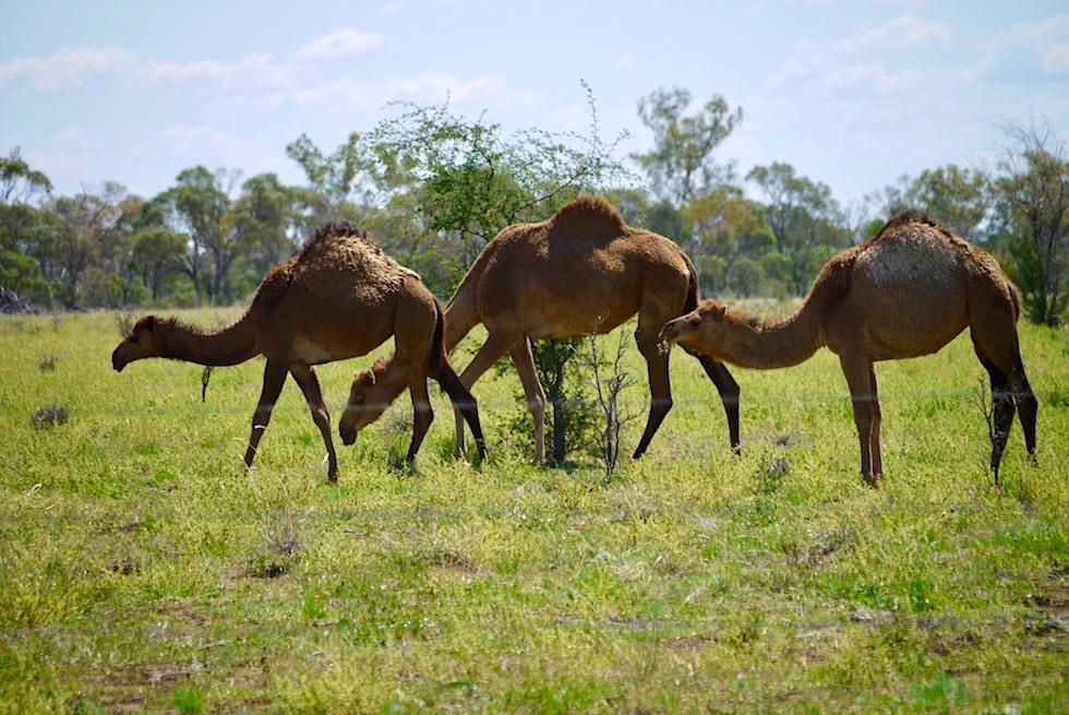 Hughenden - Kamel-Farm - Outback Queensland