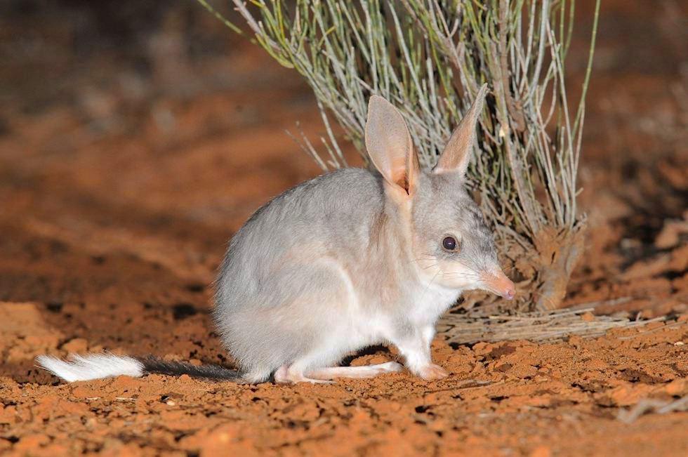 Kaninchennasenbeutler oder Bilby - Shark Bay Highlights - Western Australia