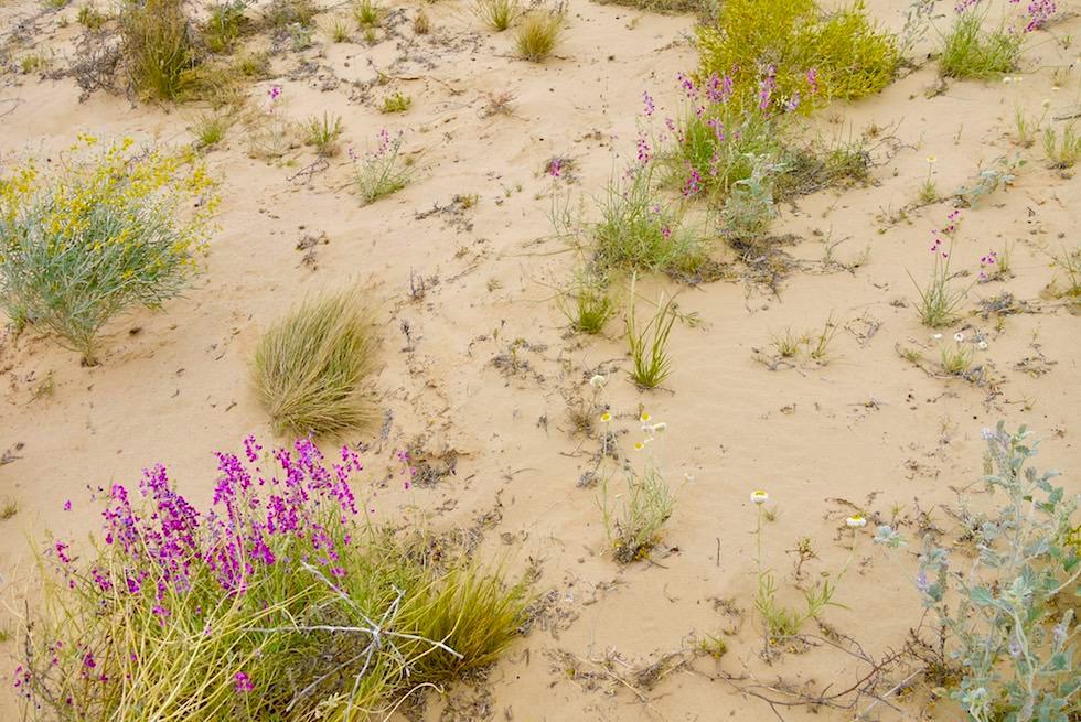 Lake Eyre mit Wasser - Bunte Wildblumen blühen auf Sanddüne - South Australia