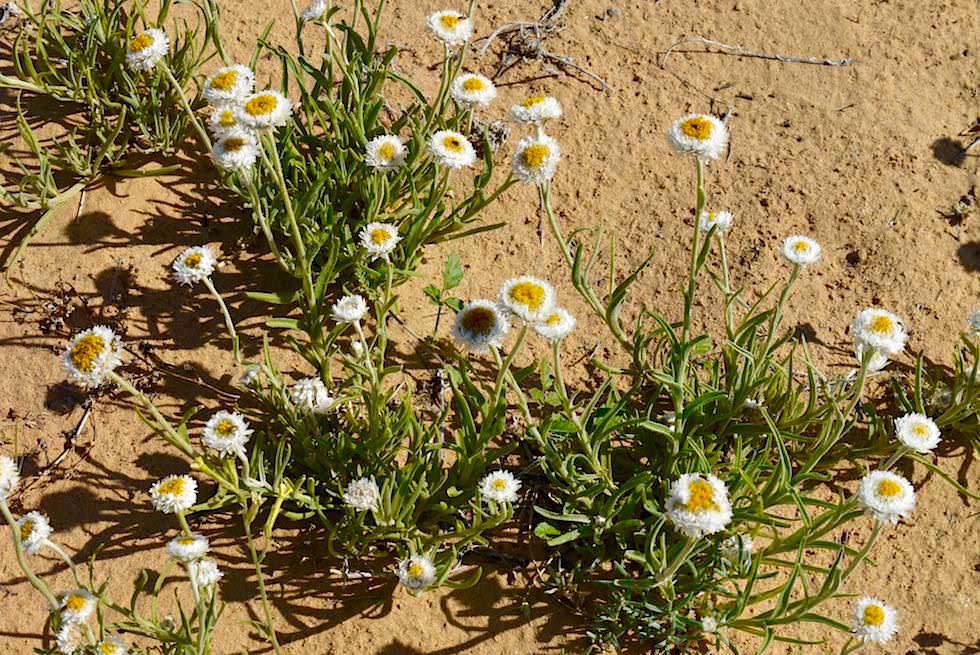 Wüsten- & Wildblumen beim Lake Eyre: Poached Egg Daisy (Polycalymma stuartii) - South Australia