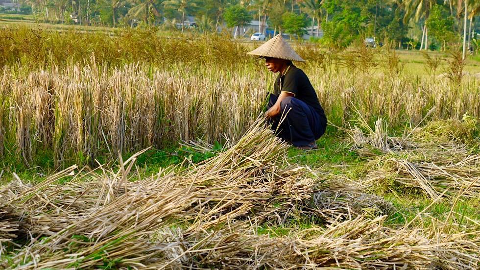 Mühevolle Reisernte von Hand auf den Reisterrassen von Bali - Indonesien