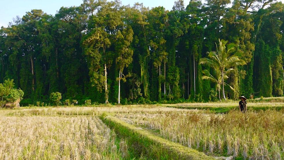 Reisfelder & Reisterrassen ein Wahrzeichen von Bali - Indonesien