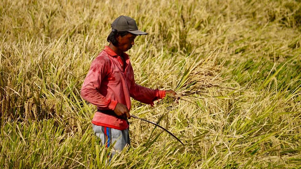 Reisterrassen Bali: Mühevolle Reisernte von Hand - Indonesien