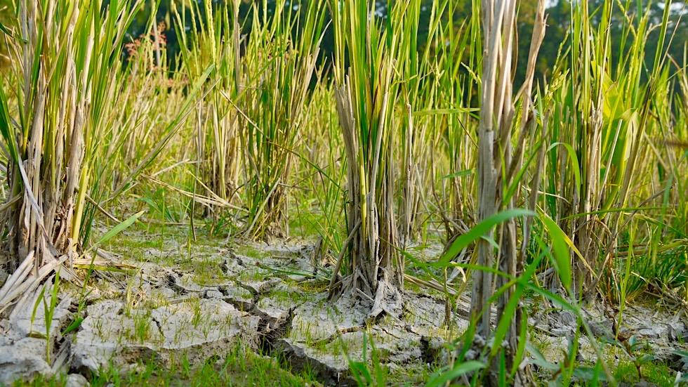 Reisterrassen & Reisfelder von Bali - Reispflanzen - Indonesien