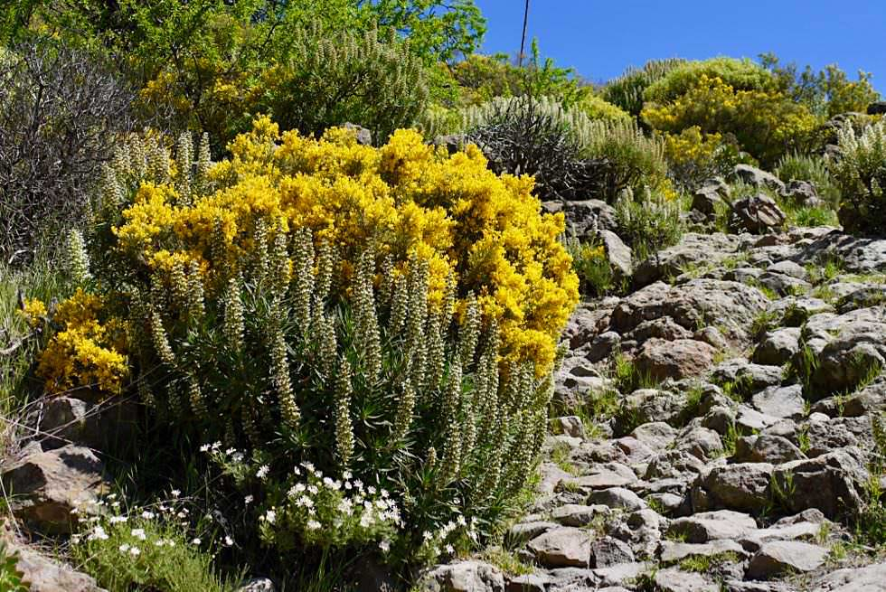 Roque Nublo Wanderung - Überwältigende Blumenpracht entlang des Wanderweges - Gran Canaria