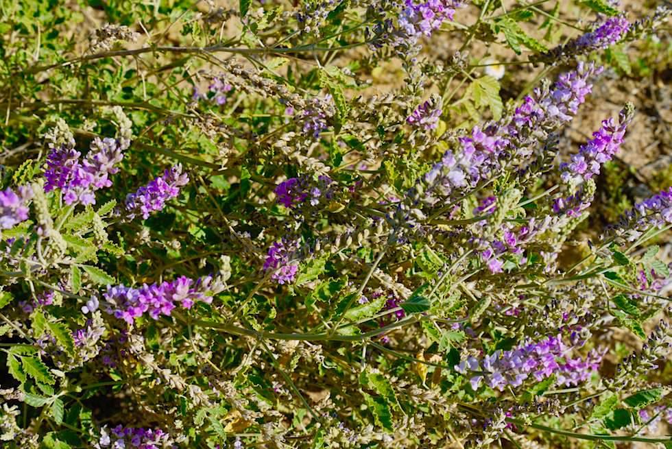 Wildblumenpracht: Schmetterlings- oder Erbsen-Blume - Lake Eyre hat Wasser - South Australia