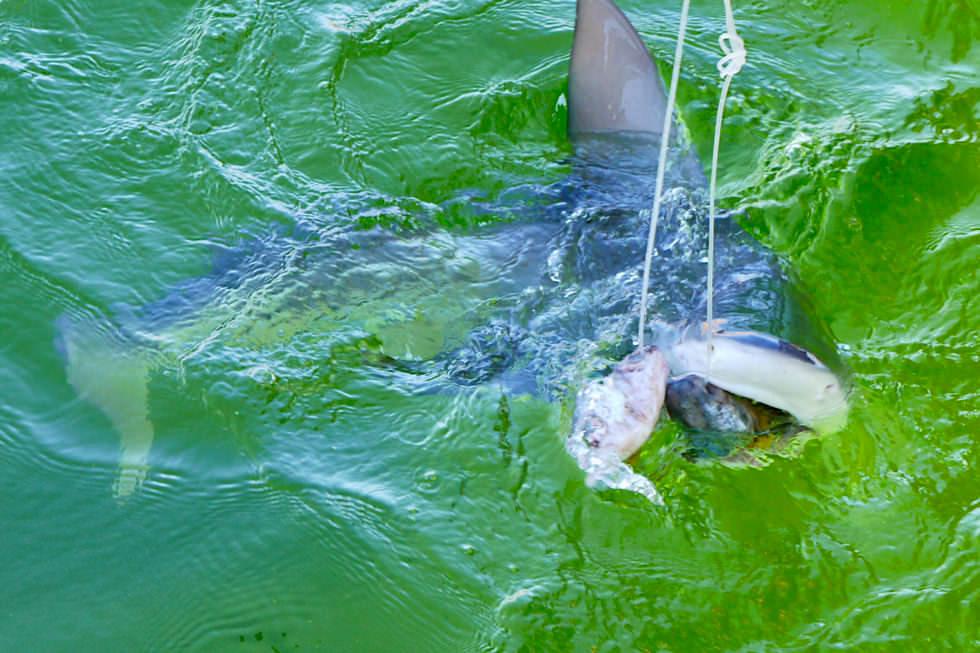 Shark Bay Highlights - Ocean Park Aquarium - Ammenhai & Haifütterung - Western Australia
