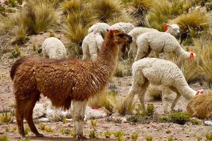 Kennst du den Unterschied Lama Alpaka? - Hochland Kamele - Peru