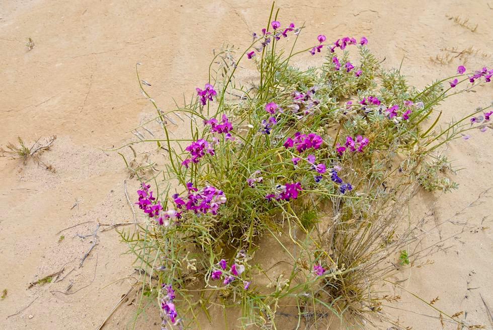 Wildblumen blühen - Lake Eyre mit Wasser - South Australia