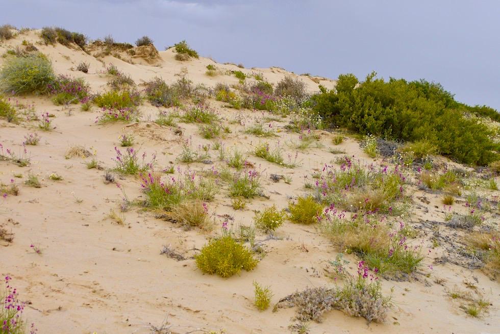 Wüste blüht: Wildblumen-Sanddünen-Landschaft - Lake Eyre North mit Wasser - South Australia