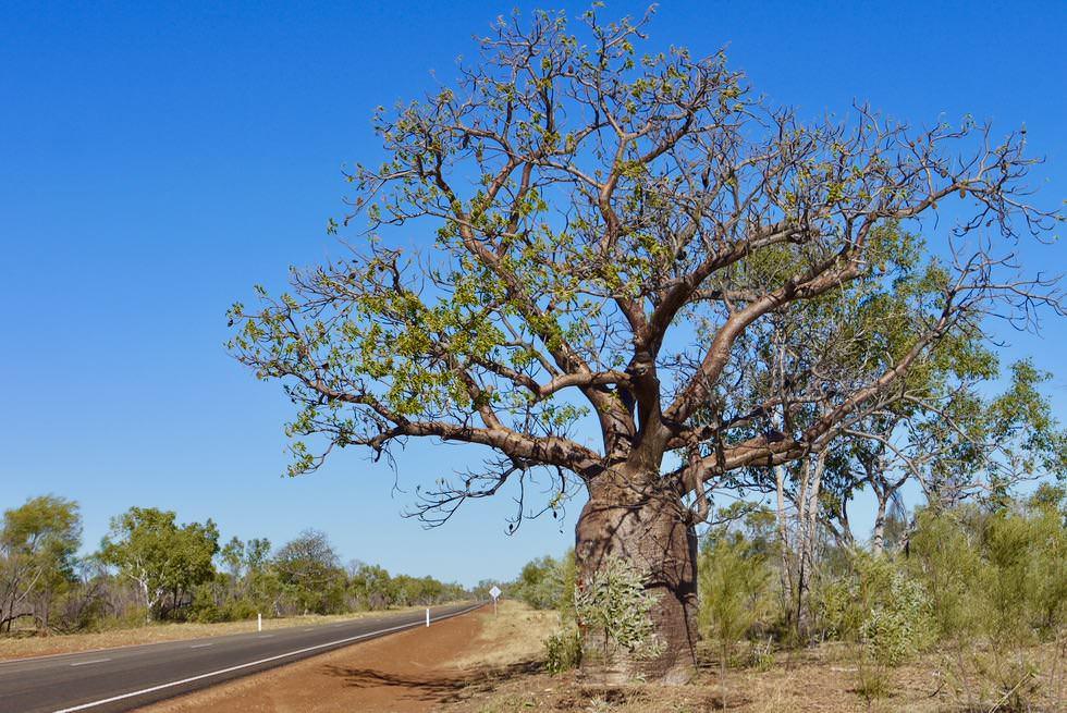 Großer Boab Baum am Great Norther Highway nahe Derby - Wahrzeichen der Kimberley Region - Western Australia