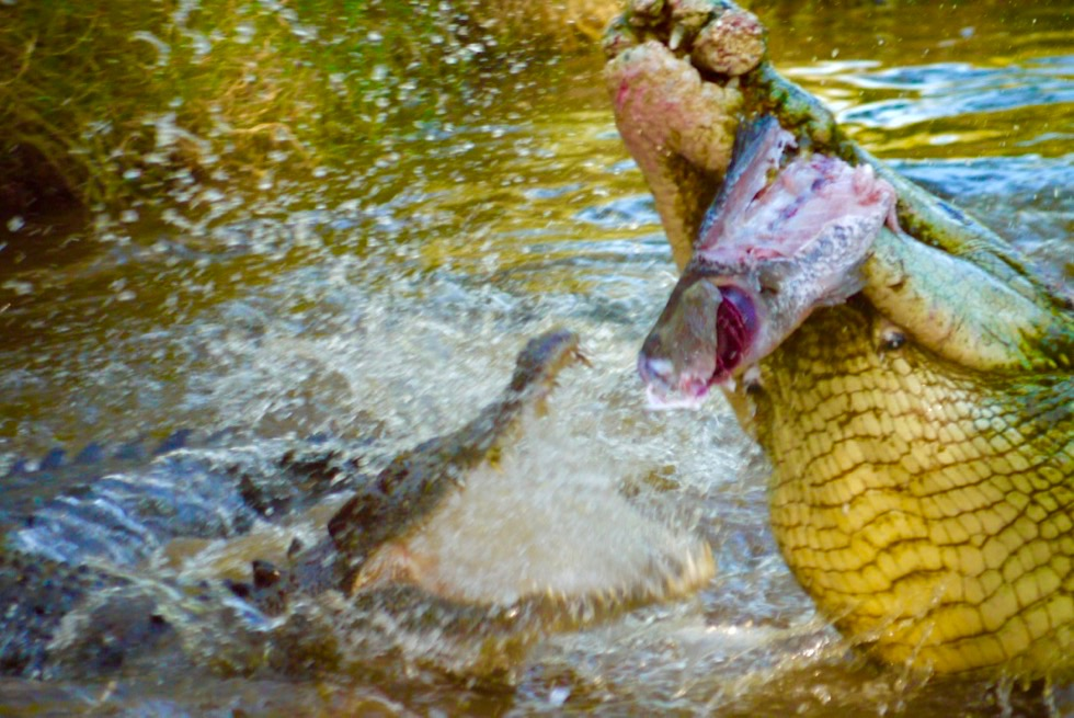 Malcom Douglas Crocodile Park bei Broome - Spektakuläre Fütterung der Salties, Salzwasserkrokodile - Kimberley - Western Australia
