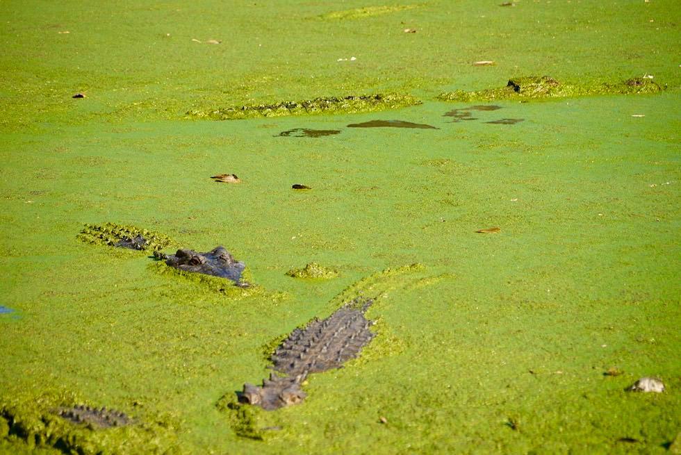 Malcolm Douglas Crocodile Park bei Broome - gut getarnte Salzwasserkrokodile im Wasser - Kimberley - Western Australia