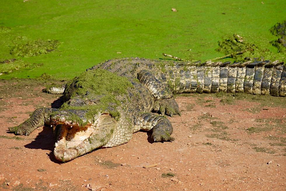 Malcolm Douglas Crocodile Park bei Broome - Salzwasserkrokodil mit offenem Maul - Kimberley - Western Australia