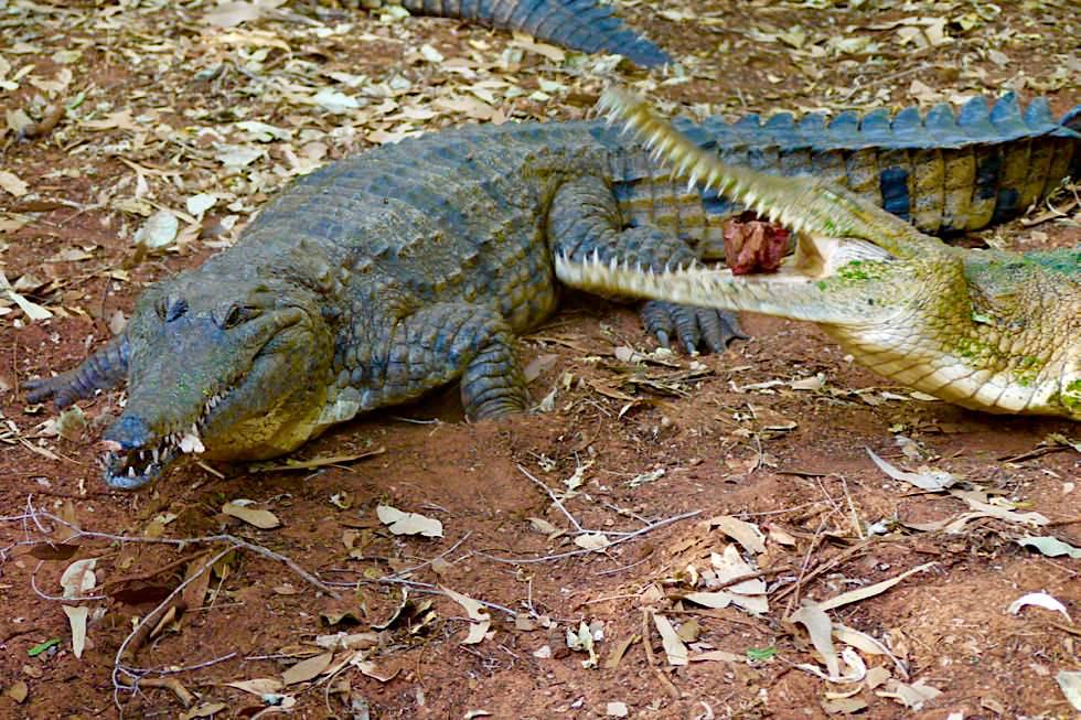 Malcolm Douglas Crocodile Park - Süsswasserkrokodil beim Fressen - Broome, Kimberley - Western Australia
