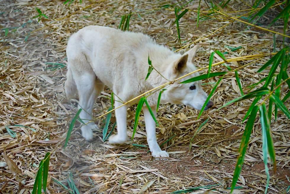 Crocodile Park - Seltener Weißer Dingo - Broome, Kimberley - Western Australia