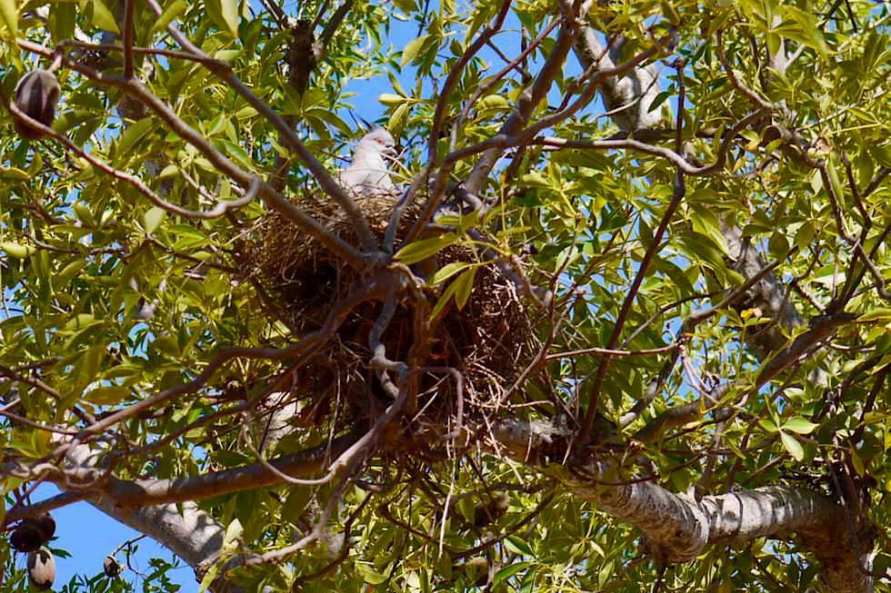 Derby - Boab Baum mit Vogelnest und Taube - Kimberley - Western Australia