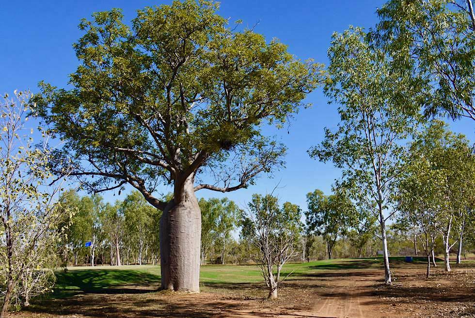 Schöne Boab Trees mit grünen Blättern beim Golfplatz in Derby - Kimberley - Western Australia